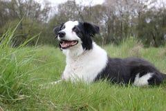 Cão da collie em um campo que estabelece Imagem de Stock Royalty Free