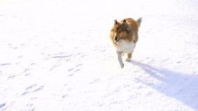 Cão da collie que corre no campo de neve filme