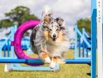 Cão da collie que faz o salto da agilidade Imagens de Stock Royalty Free