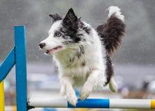 Cão da collie que faz o salto da agilidade Imagem de Stock
