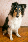 Cão da collie que senta-se no assoalho Fotos de Stock Royalty Free