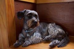 Cão da costeleta de carneiro Fotografia de Stock Royalty Free
