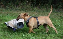 Cão da defesa Fotografia de Stock
