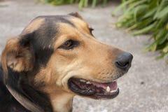 Cão da exploração agrícola de Huntaway Fotografia de Stock Royalty Free