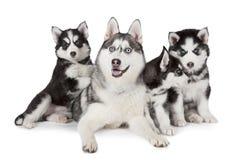 Cão da família do cão de puxar trenós Siberian Imagem de Stock Royalty Free