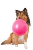 Cão da goma de bolha Fotos de Stock