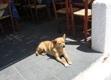 Cão da ilha de Santorini Foto de Stock