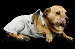 Cão da língua Foto de Stock