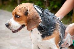 Cão da limpeza Imagens de Stock Royalty Free