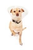 Cão da mistura da chihuahua com cone Imagem de Stock