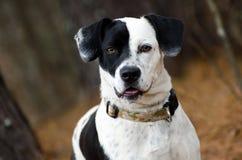 Cão da mistura de Collie Beagle da beira preto e branco imagens de stock