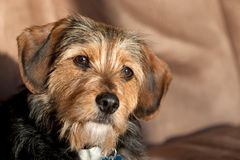 Cão da mistura de Yorkie foto de stock royalty free
