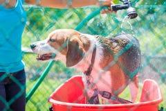 Cão da mistura do lebreiro que obtém enxaguado fora em um dia de verão quente - ângulo largo foto de stock royalty free