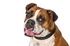 Cão da mistura do pugilista do retrato do close up foto de stock royalty free