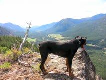 Cão da montanha Imagem de Stock