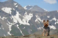 Cão da montanha foto de stock royalty free