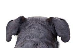 Cão da montanha de Appenzeller que olha e que olha fixamente em algum lugar, atrás do torso traseiro traseiro, isolado no fundo b foto de stock royalty free