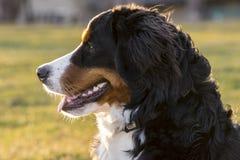 Cão da montanha de Bermese Foto de Stock Royalty Free