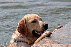 Cão da nadada Imagens de Stock Royalty Free