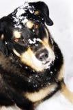 Cão da neve Fotografia de Stock Royalty Free