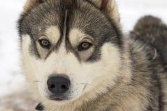 Cão da neve Foto de Stock