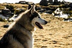 Cão da neve na montanha com fundo brilhante Imagens de Stock
