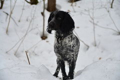 Cão da ninhada Fotografia de Stock
