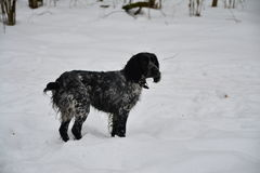 Cão da ninhada Imagens de Stock Royalty Free