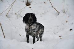 Cão da ninhada Imagem de Stock Royalty Free