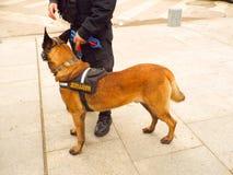 Cão da patrulha Foto de Stock Royalty Free
