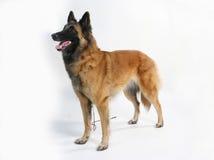 Cão da pedigree Imagens de Stock