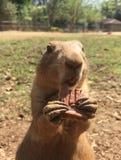 Cão da Pradaria (prairie dog) Stock Image