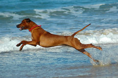Cão da praia Foto de Stock Royalty Free