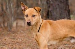 Cão da raça da mistura do pastor Imagens de Stock