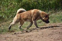 Cão da raça de Akita Inu Fotografia de Stock Royalty Free