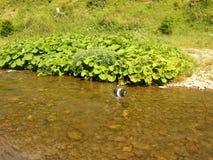 Cão da raça de Shihtzu que toma um banho Imagem de Stock