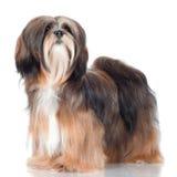 Retrato do cão do apso de Lhasa Fotografia de Stock