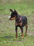 Cão da raça do caçador de ratos de Praga Imagens de Stock