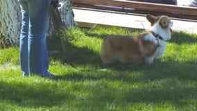 Cão da raça do Corgi de Galês no parque no gramado em uma trela filme