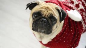 Cão da raça um pug em um terno da rena O animal inteligente olha nos olhos tristes da câmera Feliz Natal Ano novo feliz filme