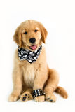 Cão da rocha no fundo branco Fotos de Stock
