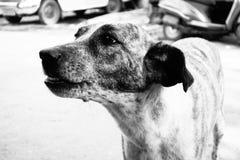 Cão da rosnadura Imagens de Stock Royalty Free