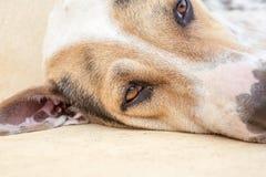 Cão da rua Foto de Stock