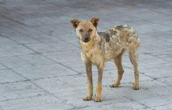 Cão da rua recuperado da tinha Fotos de Stock