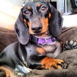Cão da salsicha Fotografia de Stock