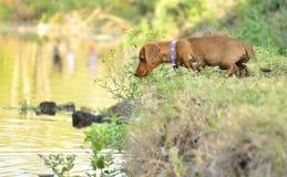 Cão da salsicha Fotografia de Stock Royalty Free