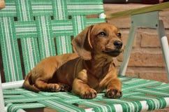 Cão da salsicha Foto de Stock