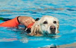 Cão da salva-vidas Foto de Stock