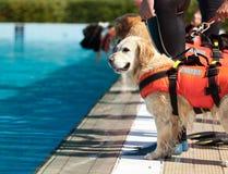 Cão da salva-vidas Foto de Stock Royalty Free