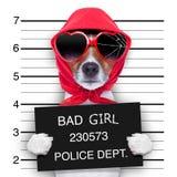 Cão da senhora do Mugshot imagem de stock